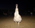 Emu investigation!