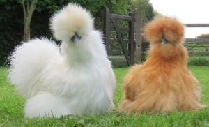 silkie-chickens-30013